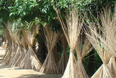 Bangladesh Jute Information and Global Jute Export - Banhladeshi Jute Exporter