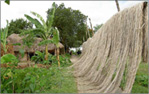 Natural jute or raw jute -  drying jutes